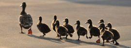 ducklings following mama